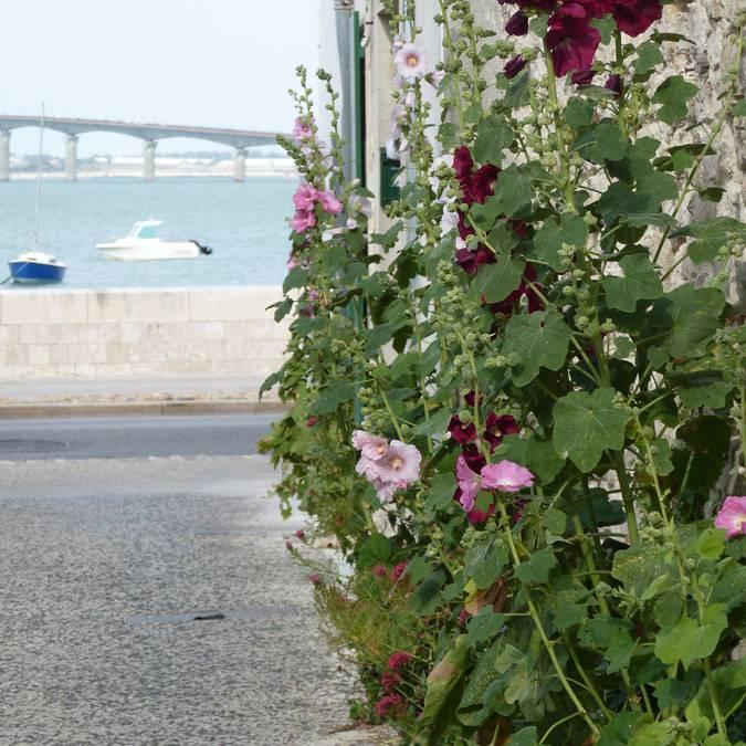 Roses trémières en juillet